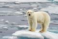 Los osos polares en 11 datos curiosos