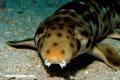 Curiosa naturaleza: ¿Conoces al tiburón caminante?