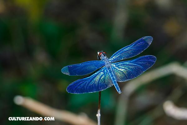 10 datos que no sabías sobre las libélulas