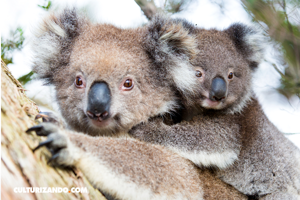 10 curiosos datos sobre los koalas
