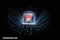 Curiosa naturaleza: La Turritopsis nutricula, una medusa inmortal