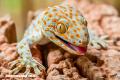 Curiosa naturaleza: Los Geckos