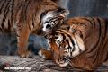 Lo que no sabías sobre los tigres (+Imágenes)