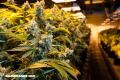La iglesia que se dedica exclusivamente a venerar la marihuana