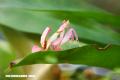 Curiosa Naruraleza: Conoce a la espectacular Mantis Orquídea