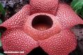 Conoce la Rafflesia, la flor más grande el mundo