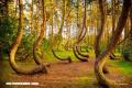 El misterioso Bosque Torcido de Polonia (+Fotos)