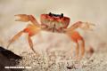 El origen de la frase «Pensar en la inmortalidad del cangrejo»