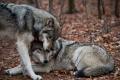 Monogamia animal: 'Hasta que la muerte los separe…'