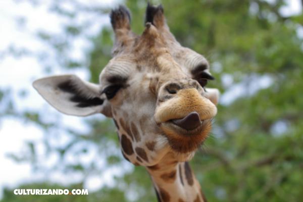 Todo lo que no sabías sobre jirafas