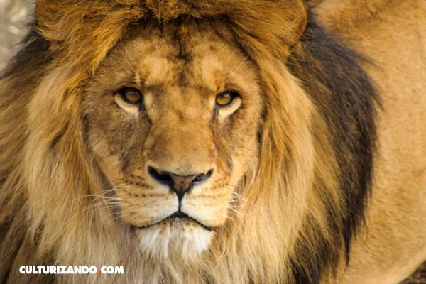 Cosas que no sabías sobre leones