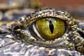 Gustave, el cocodrilo que devoró a 200 personas
