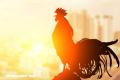 ¿Por qué los gallos cantan al amanecer?