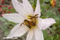 Curiosa naturaleza: las abejas gigantes del Himalaya y su miel psicodélica