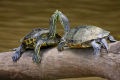 ¿Conoces el ritual de apareamiento de la tortuga de orejas rojas?