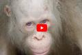 Conoce al único primate blanco de todo el mundo