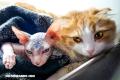 ¿Puedes asociar estos gatos con sus razas?