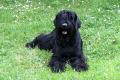 El ruso negro, la raza de perros creada por Stalin