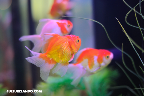 ¿El pez dorado siempre fue 'dorado'?