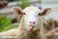 Recuerda al cerrar la reja, «cada oveja con su pareja»