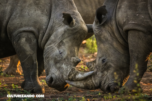 7 datos que debes saber sobre los rinocerontes
