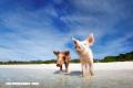 Pig Beach, la playa con cerdos más tierna que puedas visitar