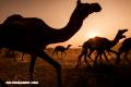7 curiosidades de los camellos