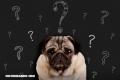 ¿Sabes cuál es la raza de perros más inteligente del mundo?