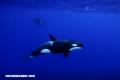 Desaparecen las orcas del Pacífico