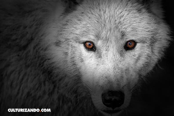 La leyenda de los lobos internos