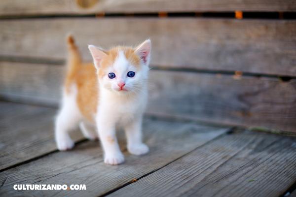 ¿Te gustan los gatos? Demuestra cuánto sabes de cachorros con esta trivia
