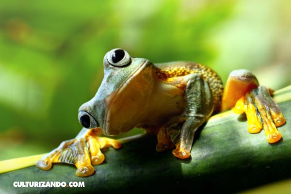Inyectar orina de mujer en una rana. El test de embarazo de los años 30