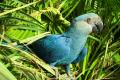 Se declara extinto el guacamayo azul, especie que le dio vida a la película 'Río'