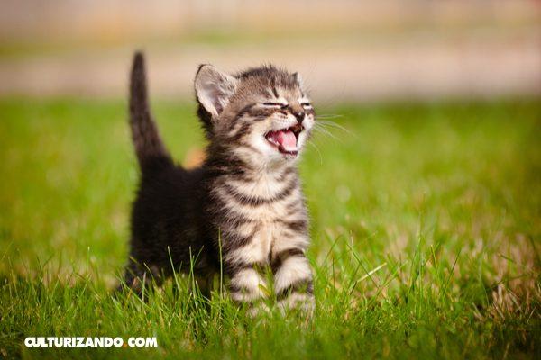 Los gatos maúllan para manipular a los humanos, no para comunicarse entre ellos