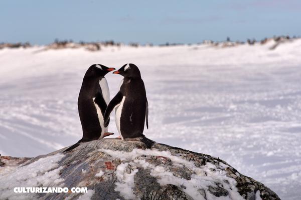 Criminales adorables: los pingüinos homosexuales que robaron un huevo para formar una familia