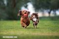 ¿Cuáles son las razas de perros más independientes?