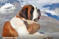 La Nota Curiosa: ¿Realmente llevaban un barril los perros San Bernardo?