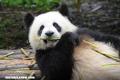¿Por qué los pandas al ser carnívoros comen solo bambú?