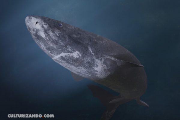 Animal vertebrado que puede vivir más de quinientos años, ¿lo conocías?