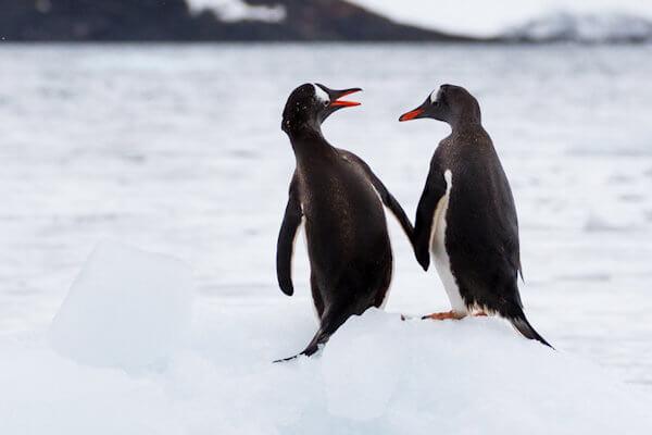 Curiosidades y características de los pingüinos