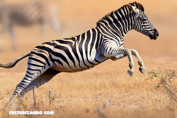 las cebras tienen rayas