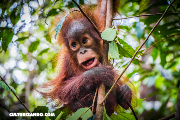 La caza y el uso del suelo reducen a la mitad la distribución de los grandes mamíferos tropicales