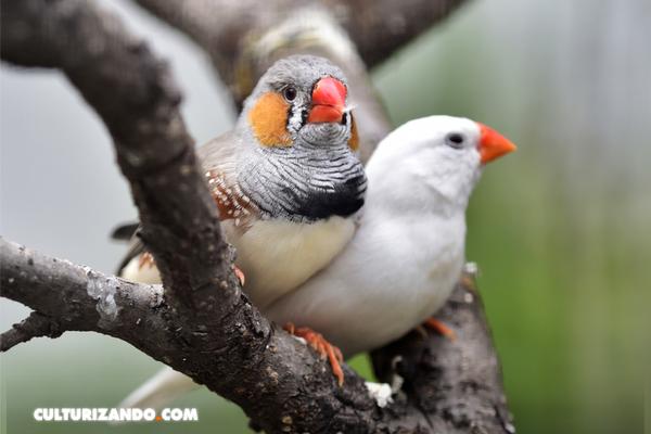 Secuenciado un extraño cromosoma en los pájaros cantores