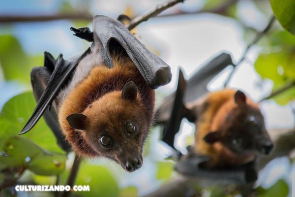 Los murciélagos, las otras víctimas del SARS-CoV-2