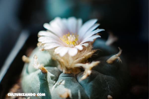 5 hechos asombrosos sobre el peyote ('Lophophora williamsii') y otras especies de cactus