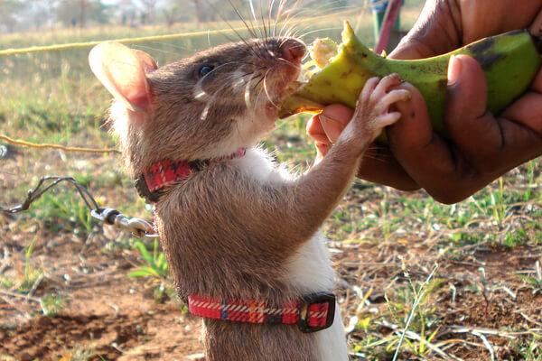 Conoce a Magawa, la rata condecorada por su valentía