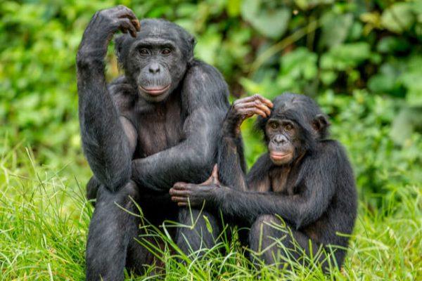 Bonobos: los chimpancés más parecidos a los humanos